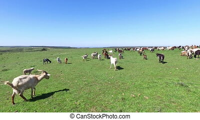 Sheep and goats in the countryside