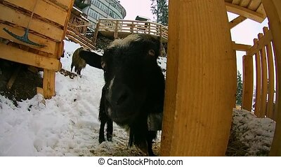 Sheep and goats in the winter are in the snow and looking at the camera.
