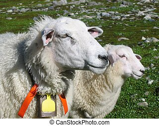 Sheep and her lamb