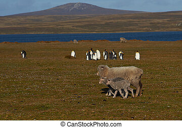 Sheep and king Penguins - Ewe and her recently born lamb...