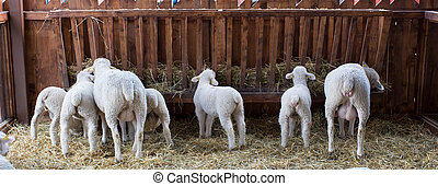 Sheep and lamb eating hay in barn - Rear view of sheep and ...