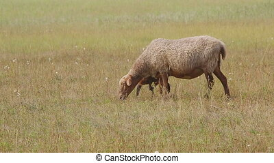 Sheep and lamb grazing in a summer meadow near herd.