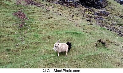 Sheep and lamb in the steep hillside scared - Scared sheep ...