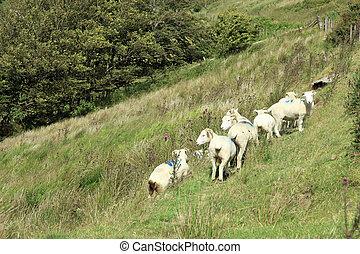 Sheep and lambs Exmoor