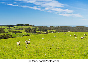 Sheep and lambs in the field at spring time under bright ...