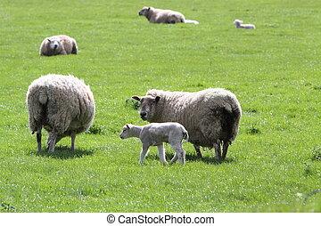 Sheep and lambs Ovis Aries