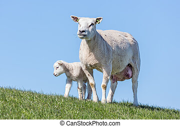 Sheep and little lamb in Dutch field