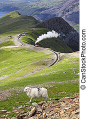 Sheep and mountain railway