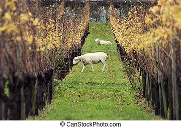 Sheep and vineyard - Sheep walking in the vineyard. Vaduz, ...