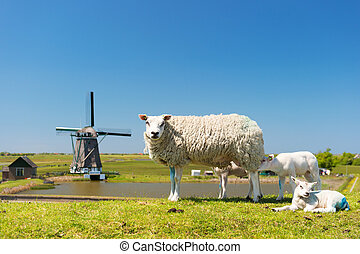 Sheep and windmill at Dutch island Texel