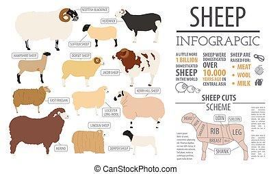 sheep, appartamento, fattoria, razza, infographic, disegno, animal., template.