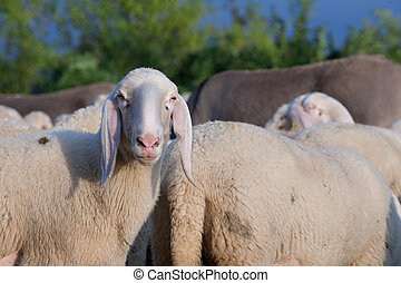 sheep asking whats the matter dude