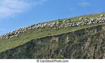 Sheep at berg, Titel Serbia - Herd of sheep at hill, Titel...