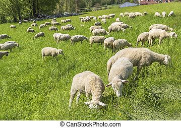 sheep at spring time