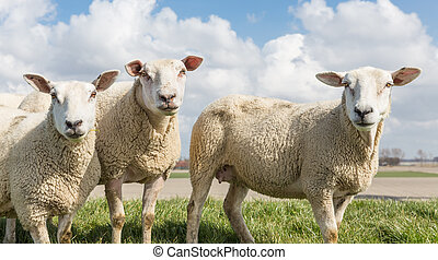 Sheep at sunny day in spring on top of a Dutch dike