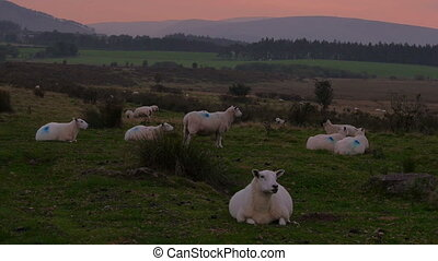 Sheep at sunset in Welsh landscape - Sheep at sunset in the...