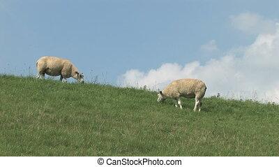 Sheep at the dike - White sheep grazing at the dike