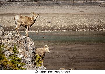 sheep, banff, stor, nationalparken, bedragen