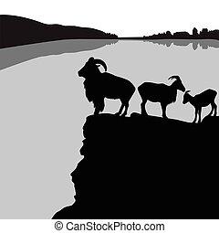 sheep, barbary