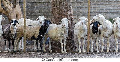 Sheep behind a metal fence, Namibia