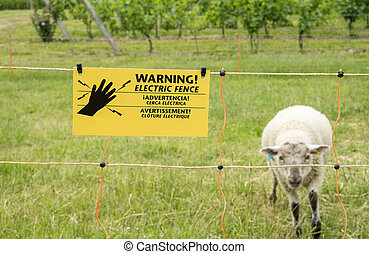 Sheep Behind Electric Fence in a Vineyard