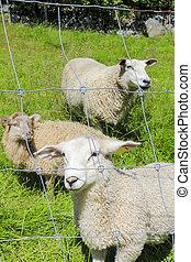 Sheep behind fence in a meadow, Hemsedal, Viken, Norway.