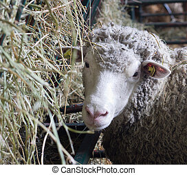 Sheep beside manger with hay - Cute young sheep standing ...