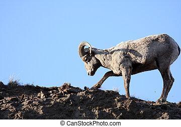 sheep, bighorn, grävning, rötter, uppe