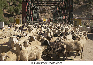 Sheep Blocking the Road - Large flock of sheep and goats...