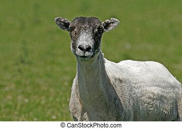 Sheep, Bodmin Moor, England