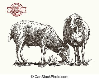sheep breeding. sketch made by hand on a white background