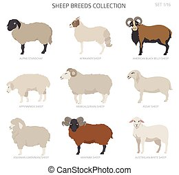 Sheep breeds collection 1. Farm animals set. Flat design