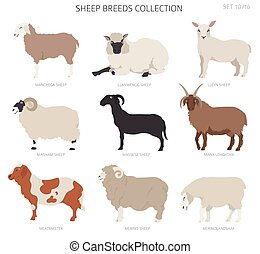 Sheep breeds collection 10. Farm animals set. Flat design