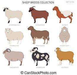 Sheep breeds collection 12. Farm animals set. Flat design