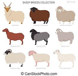 Sheep breeds collection 13. Farm animals set. Flat design