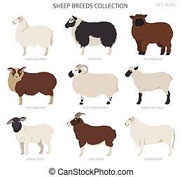 Sheep breeds collection 14. Farm animals set. Flat design