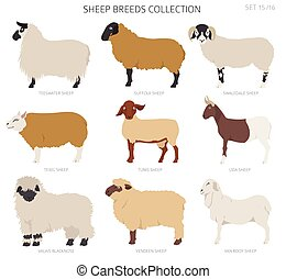 Sheep breeds collection 15. Farm animals set. Flat design