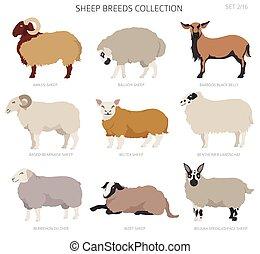 Sheep breeds collection 2. Farm animals set. Flat design. Vector illustration