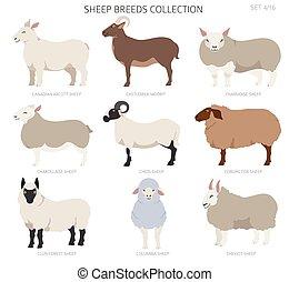 Sheep breeds collection 4. Farm animals set. Flat design