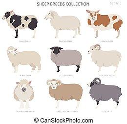 Sheep breeds collection 7. Farm animals set. Flat design
