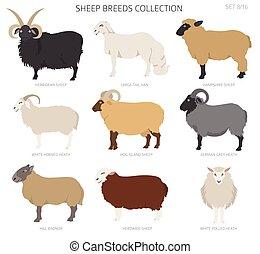 Sheep breeds collection 8. Farm animals set. Flat design
