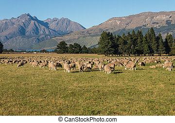 sheep, campo, pastar