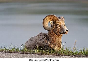 sheep, canada, grande, nazionale, corno, parco, strada, alberta, lungo, maligne, diaspro