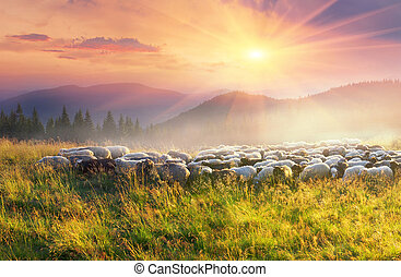 sheep Carpathians - Ukraine, Vorohta. High in the mountains ...