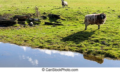 Two sheep in pasture chew on grass and watch surroundings