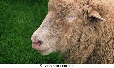 Sheep Chewing - Closeup of adult sheep chewing grass in the...
