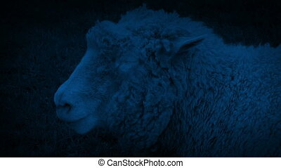 Sheep Chewing Grass In Field At Night - Closeup of sheep...