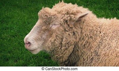 Sheep Chewing Grass In Field