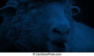 Sheep Chewing The Cud At Night - Closeup of sheep chewing...