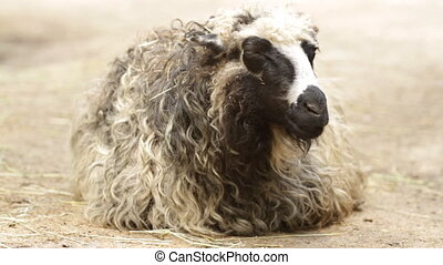 Sheep chews a hay